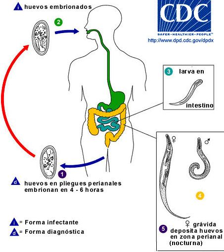 Pinworms include helminths Enterobius vermicularis cdc life cycle