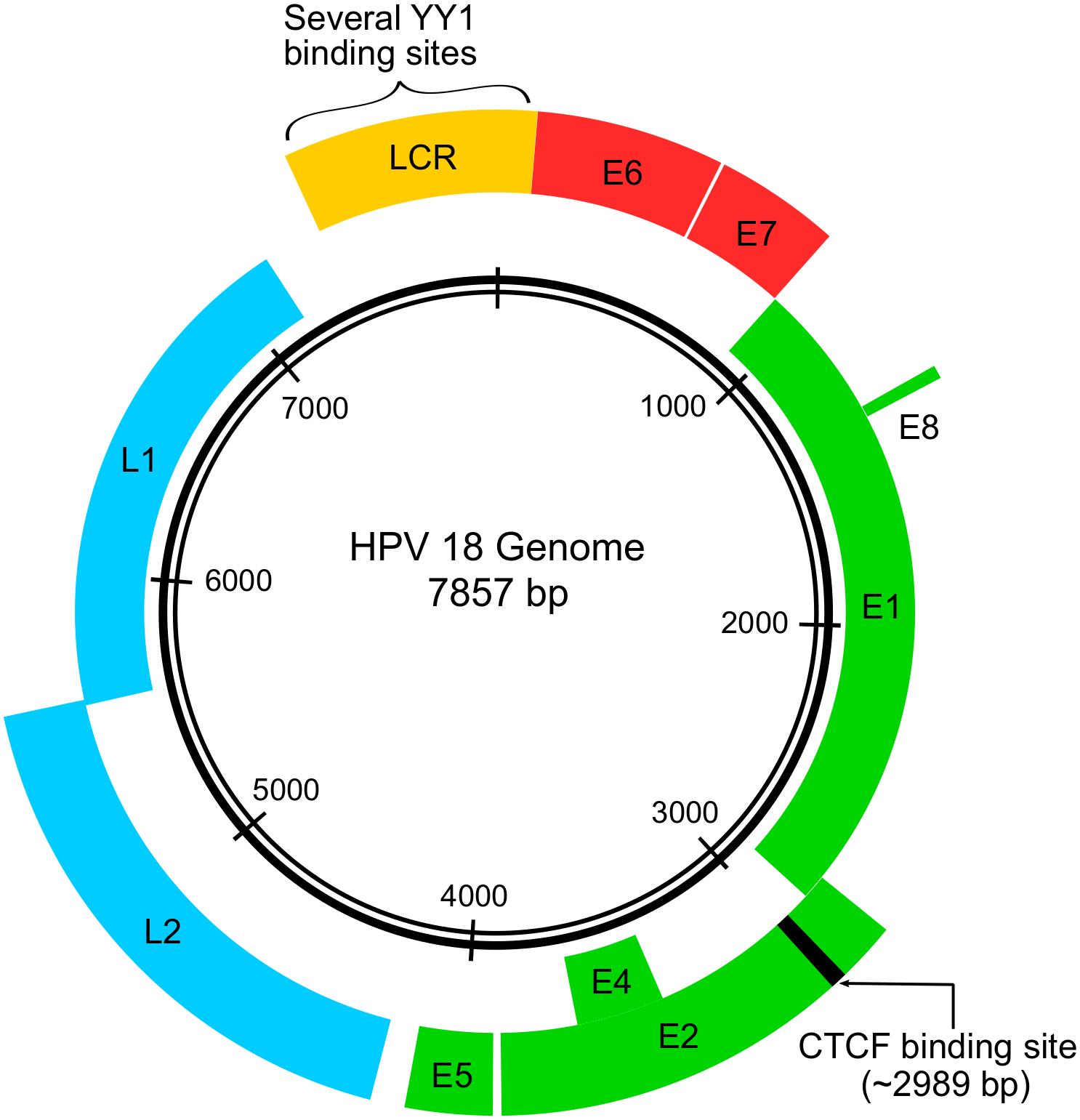 Hpv can cause what cancer. Do all hpv cause cancer, Cancer ficat regim alimentar