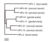 The human papillomavirus family and its role in carcinogenesis